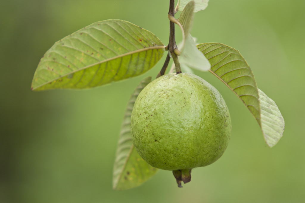 How Guava Leaves Can Increase Sperm Count - Snowballs ...